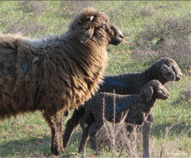 Овцы каракульской породы