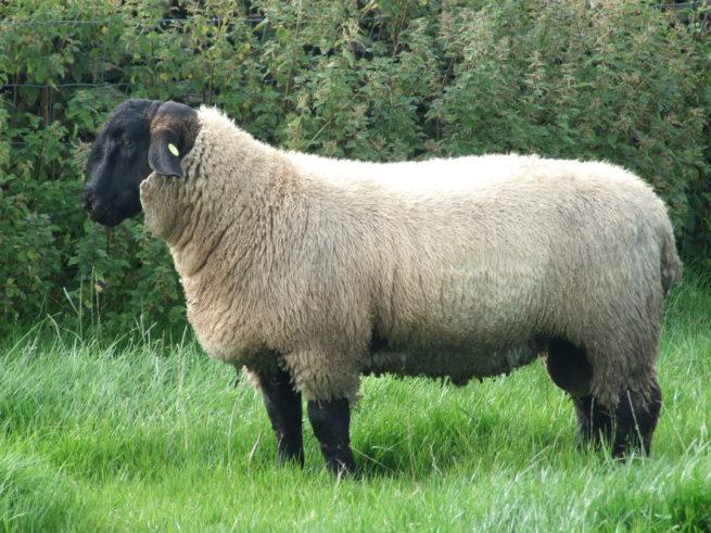 Овца породы суффолк