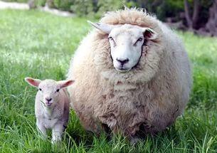 Овцы с ягненком