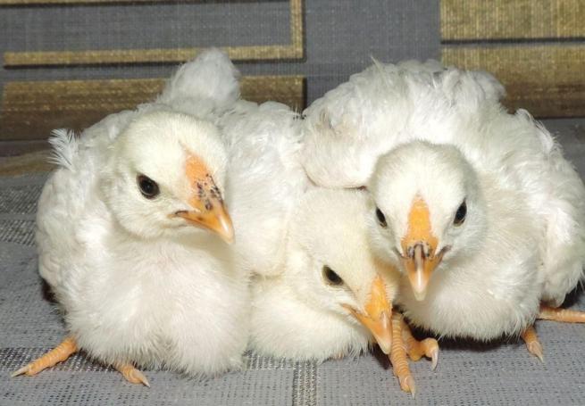 Цыплта кур породы первомайская