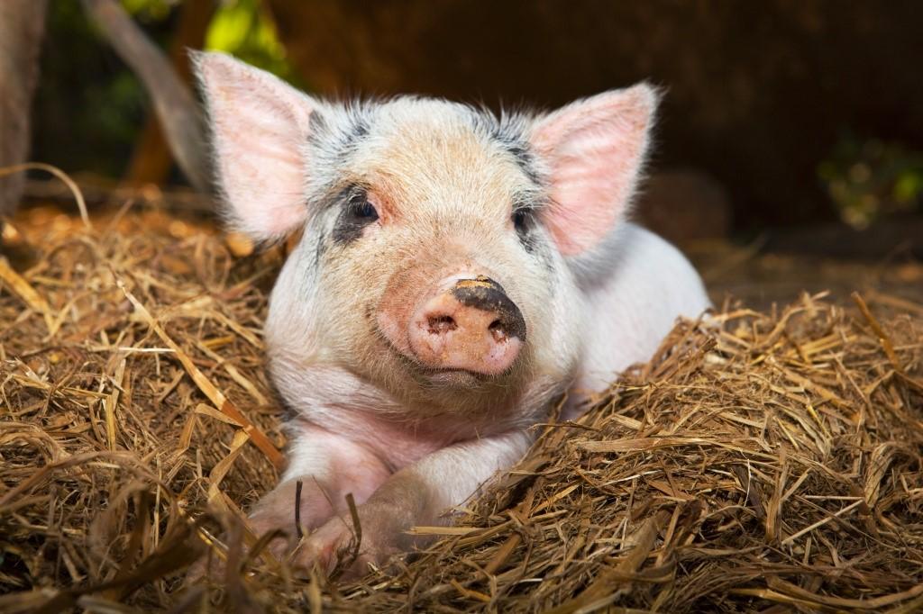 Энзоотическое воспаление легких у свиней