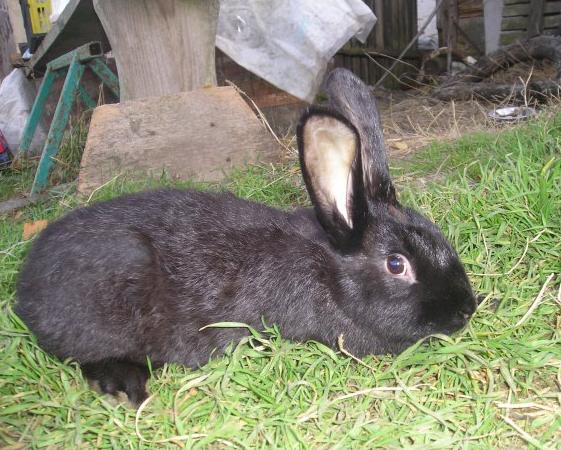 Новозеландский черный кролик