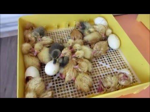 Вылупившиеся цыплята в инкубаторе