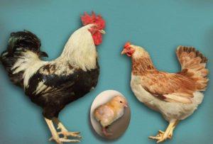 Загорская лососевая порода кур