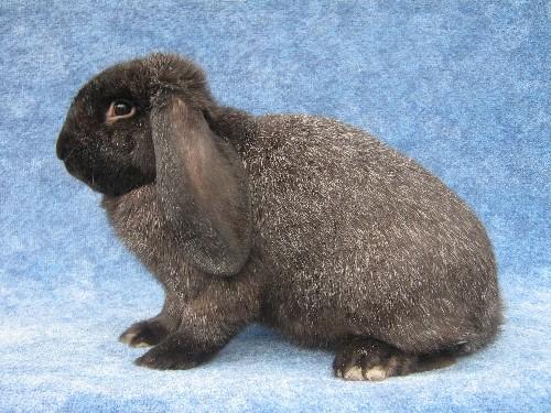 Кролик породы мейсенский баран
