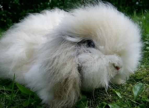 Кролик породы ворсистый баран
