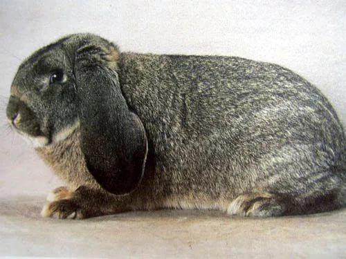Кролик породы немецкий баран