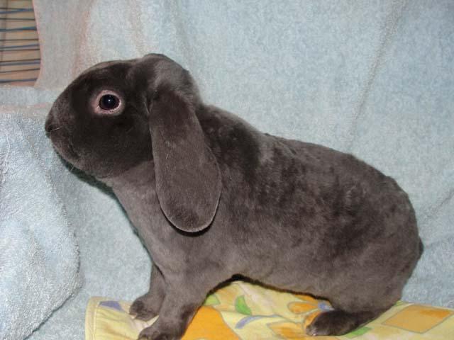 Кролик породы вельветовый баран