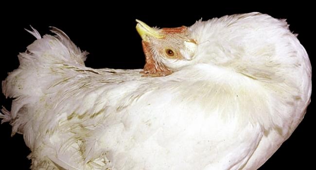 Болезнь Марека Болезни кур несушек и их лечение: фото, причины, симптомы, лечение