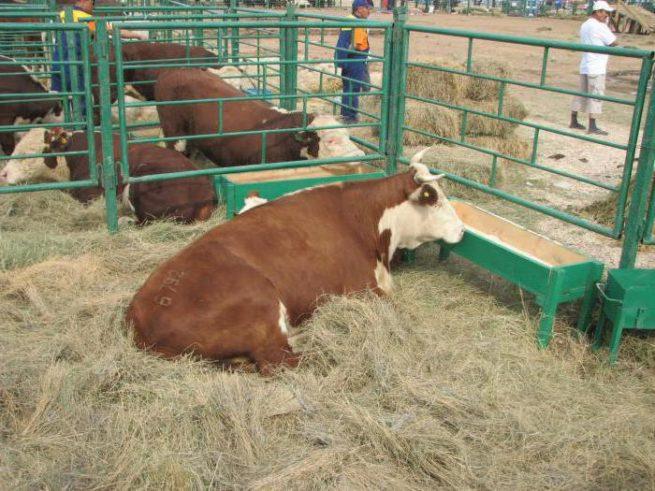 Корова казахская белоголовая