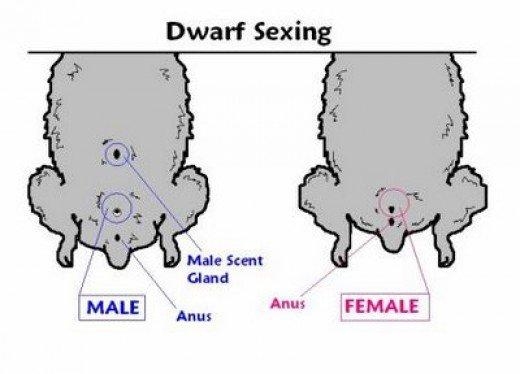 Половое различие самки и самца кролика