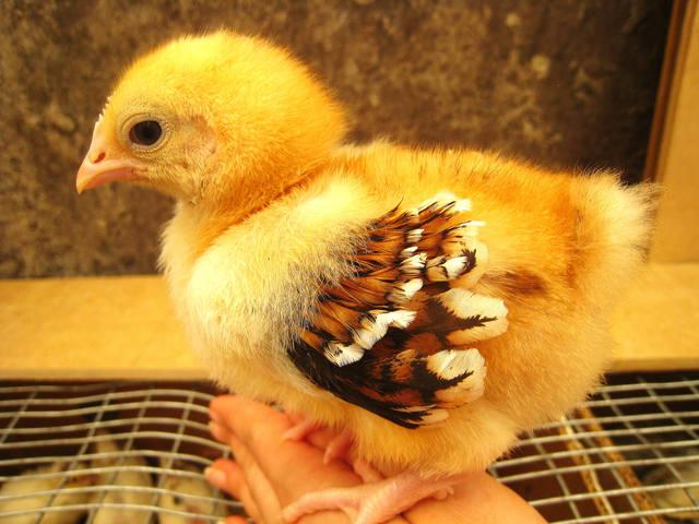 Цыпленок орпингтон