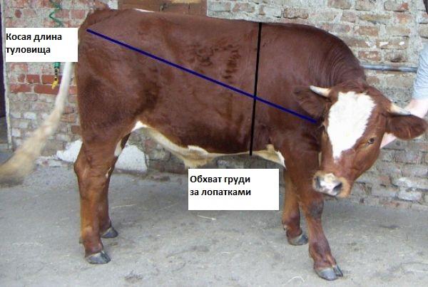Вес быка без весов