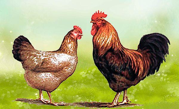 Курица и петух породы кучинская юбилейная