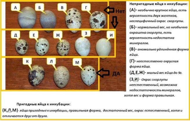 Отбор перепелиных яиц для инкубации