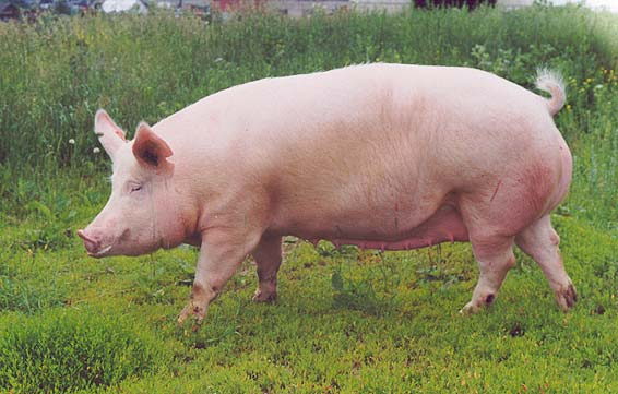 Порода свиньи йоркшир