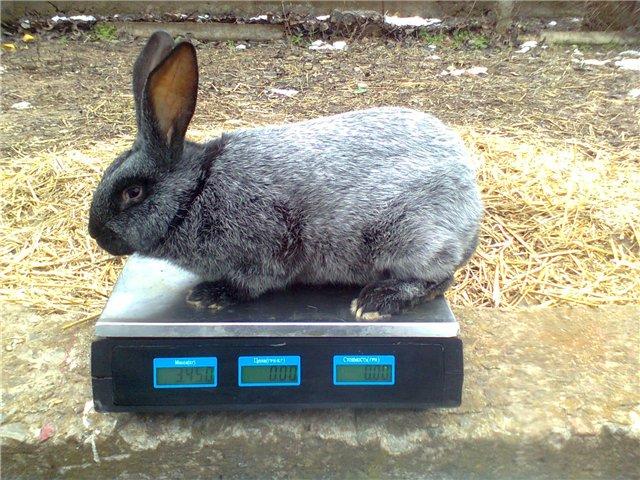 Серебристый кролик на весах
