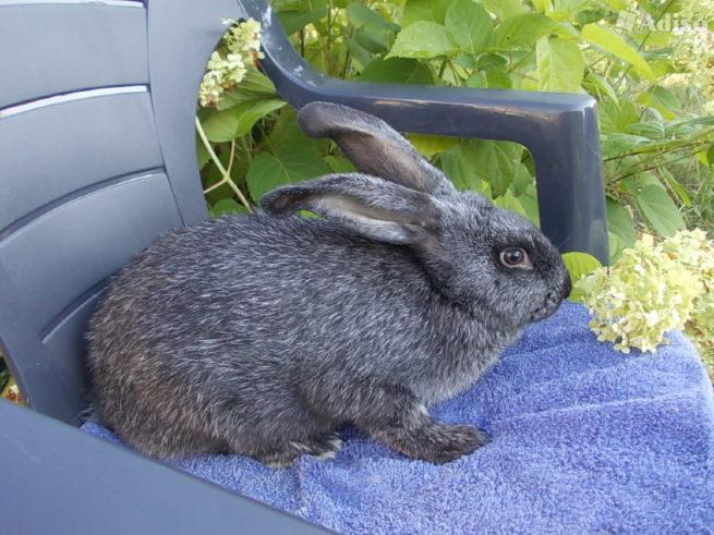 Кролик серебристой породы