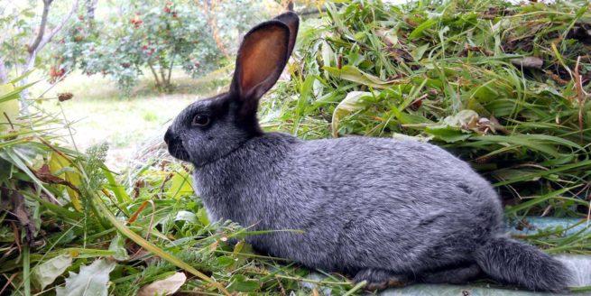 Кормление серебристых кроликов