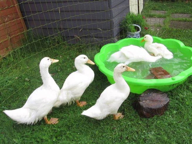 Утки агидель купаются