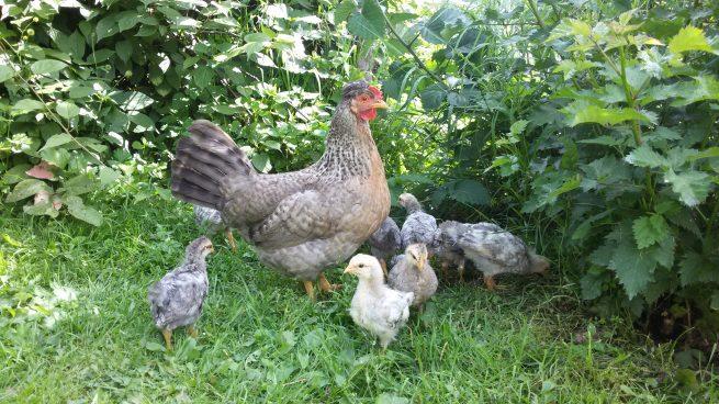 Курица легбар с цыплятами