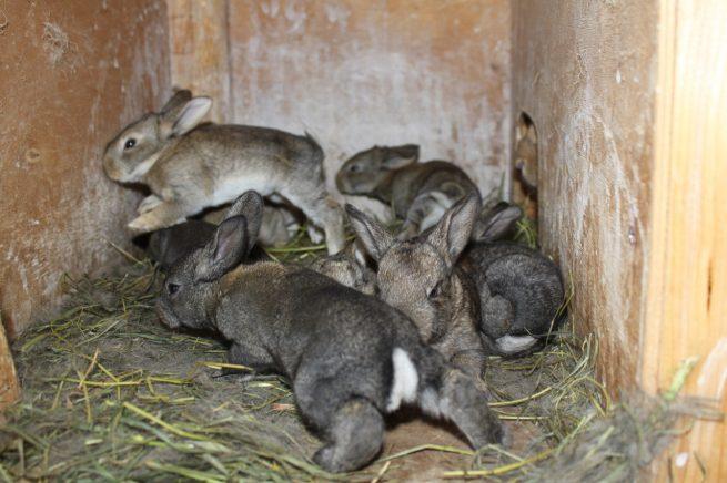 Крольчата серый великан