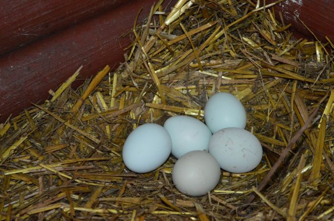 Яйца кур породы легбар