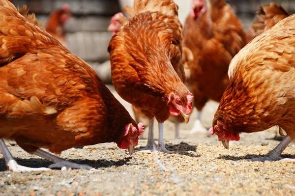Курицы породы родонит