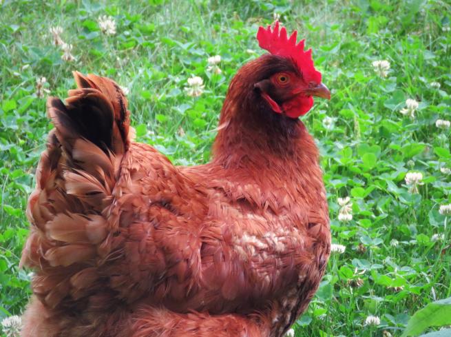 Курица род-айленд