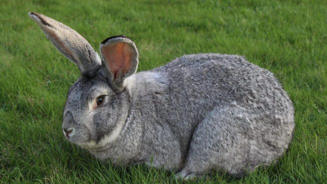 Кролики породы серый великан