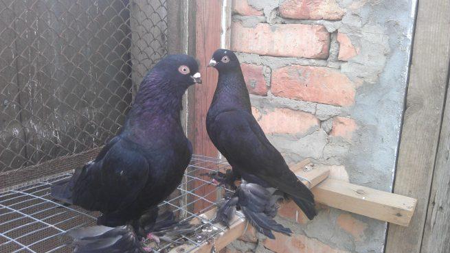 Спаривание голубей