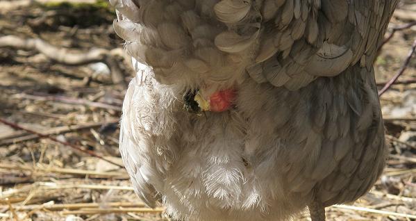 У куры выпал яйцевод