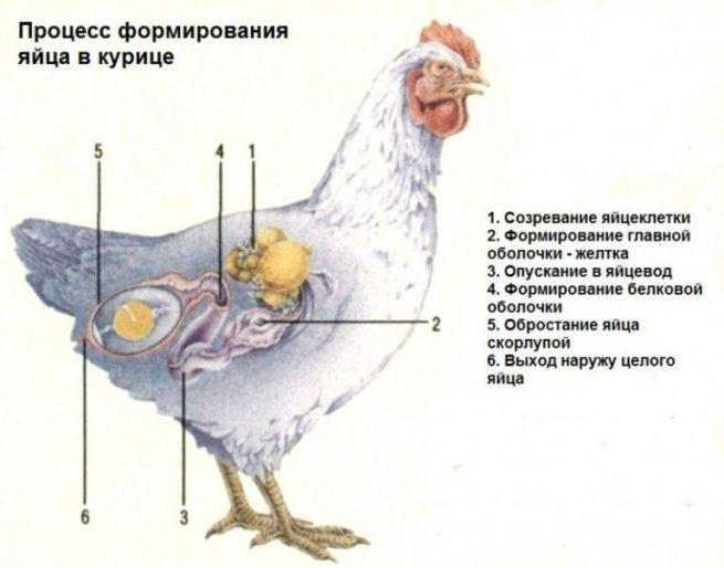 Формирование яйца у курицы