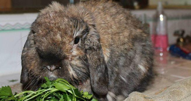 Диарея у кролика