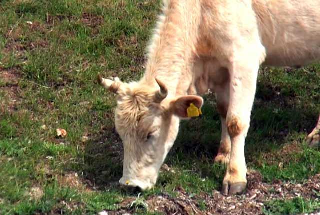 У коровы пироплазмоз