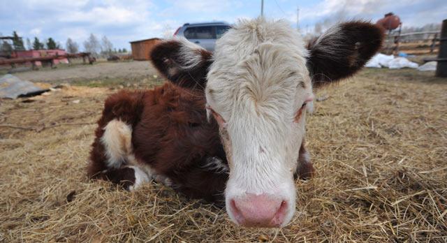 Корова с пироплазмозом