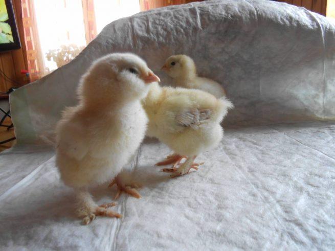 Цыплята фавероль