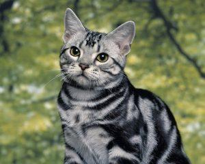 Южноамериканская короткошерстная кошка