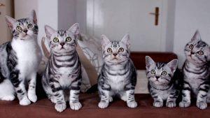 Короткошерстные южноамериканские котята