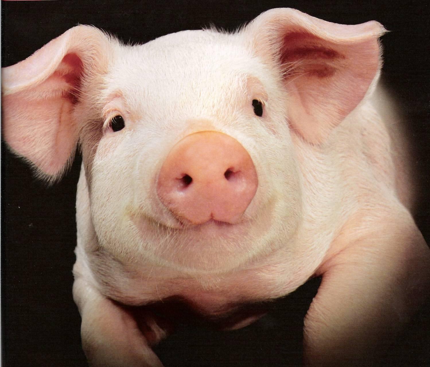 Породы свиней с фото и описанием: как не ошибиться с выбором?