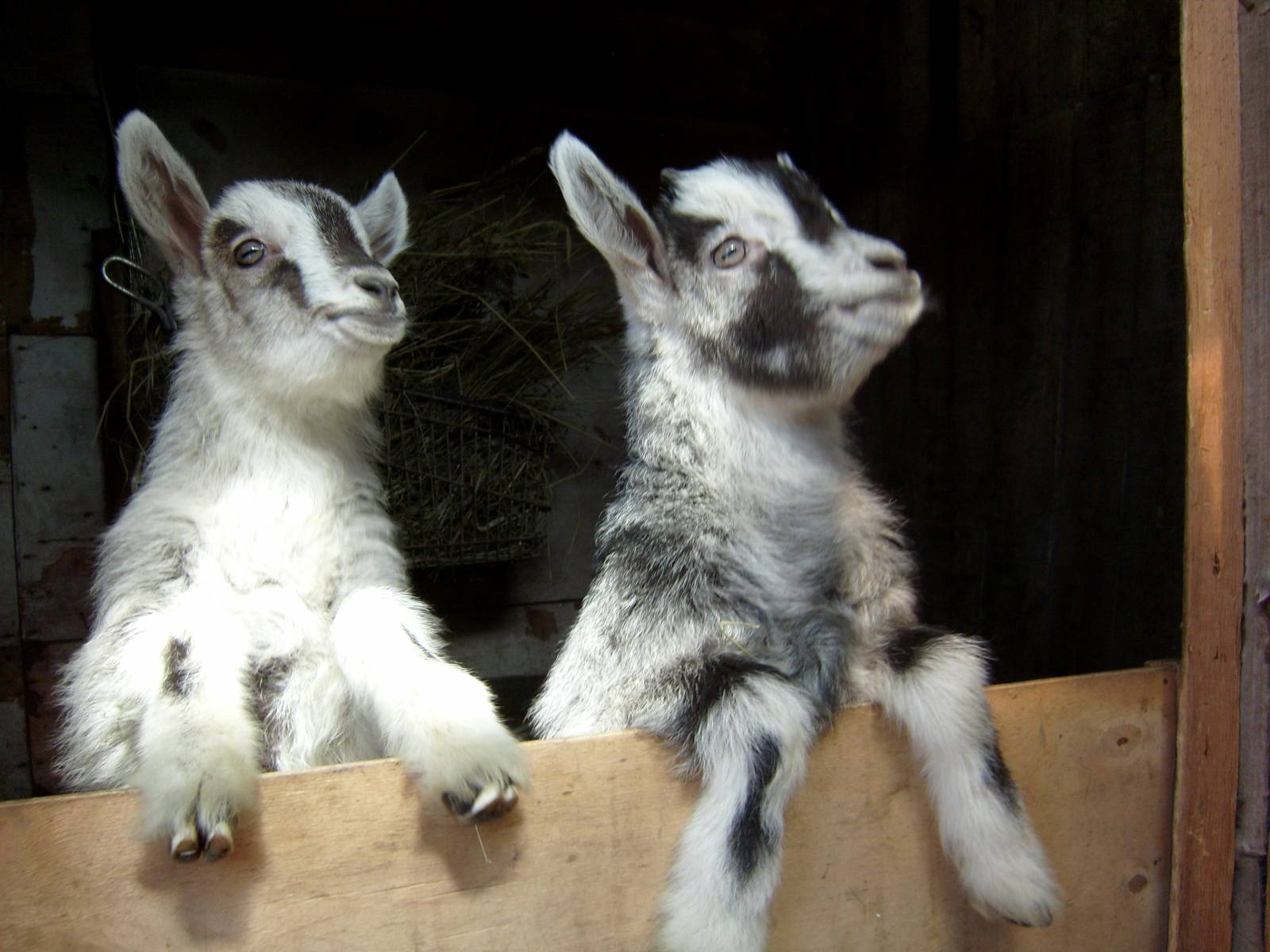 Разведение коз в домашних условиях для начинающих: содержание и уход