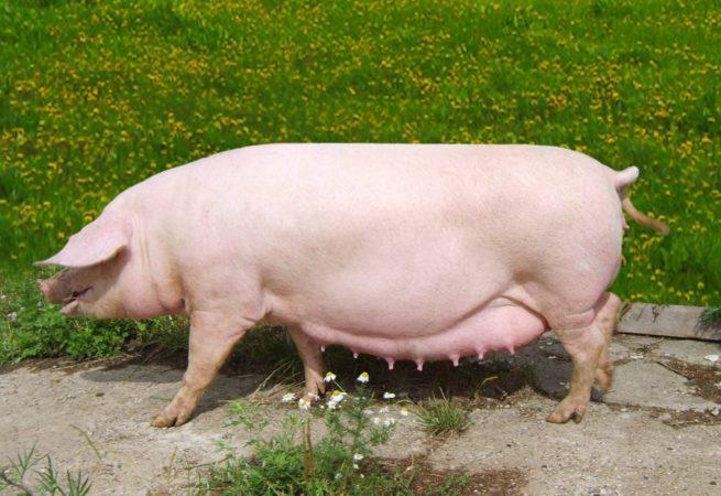 Породы свиней с фото и описанием: краткая характеристика