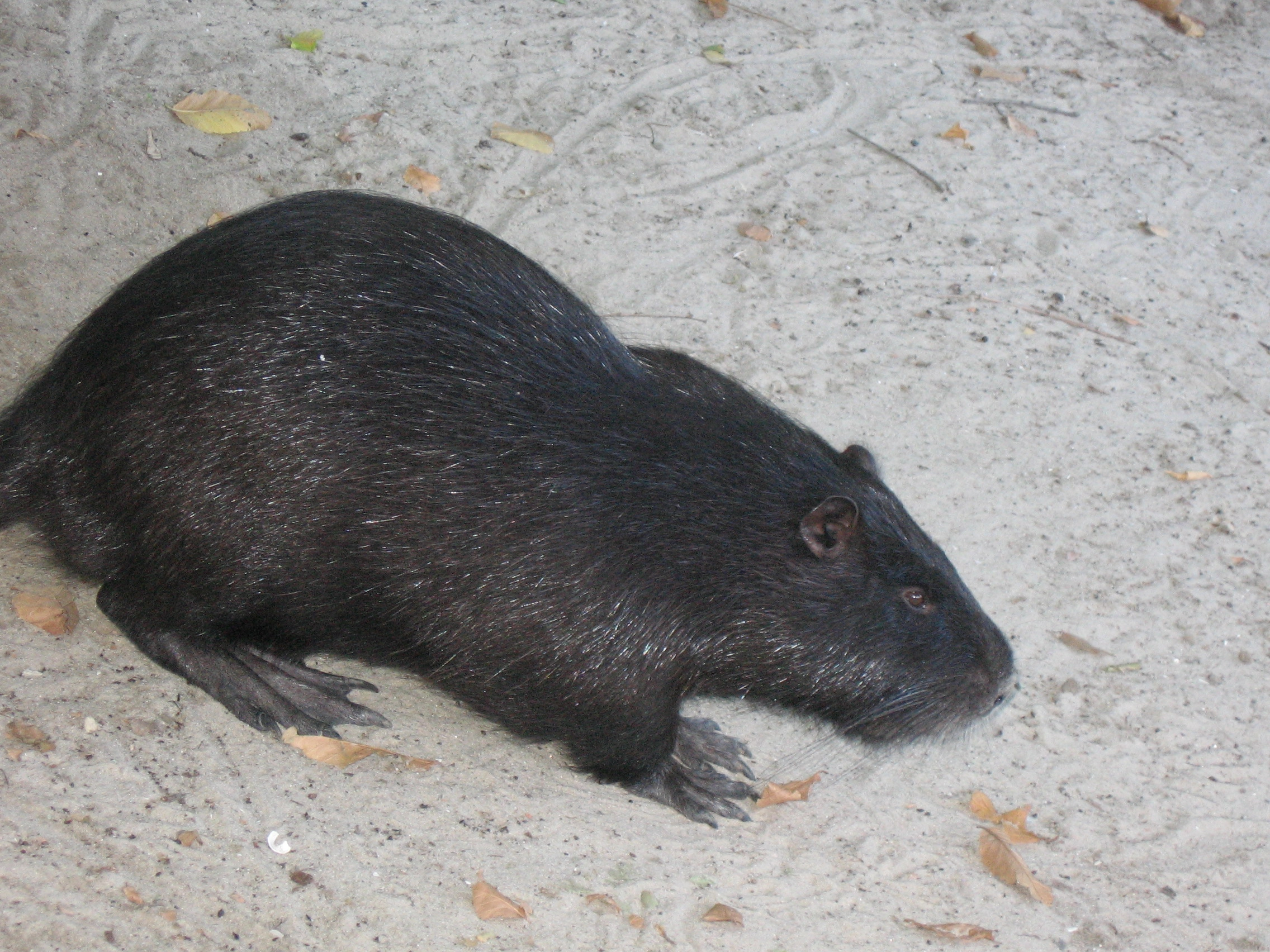 Нутрия: фото животного разных пород