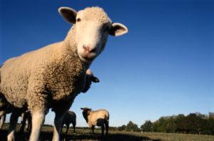 Разведение овец как бизнес: с чего его начать и как в нем приуспеть?