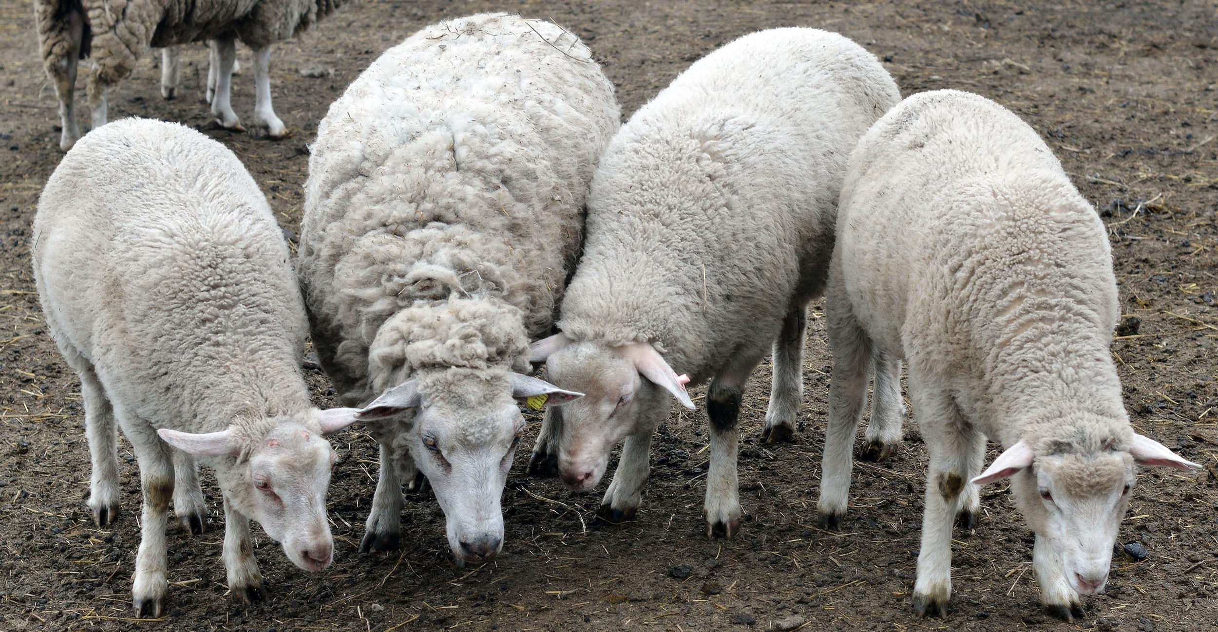 Разведение овец как бизнес: с чего его начать и как в нем преуспеть?