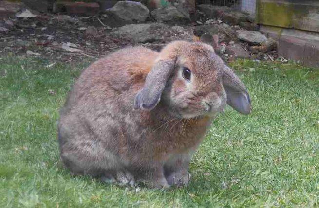 Вздутие живота у кроликов: причины, симптомы и лечение