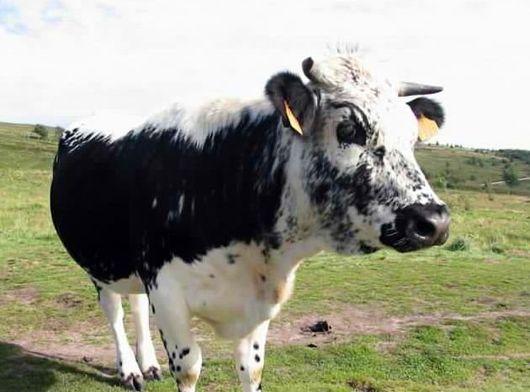 Породы коров: описание и фото Корова Истобенской породы