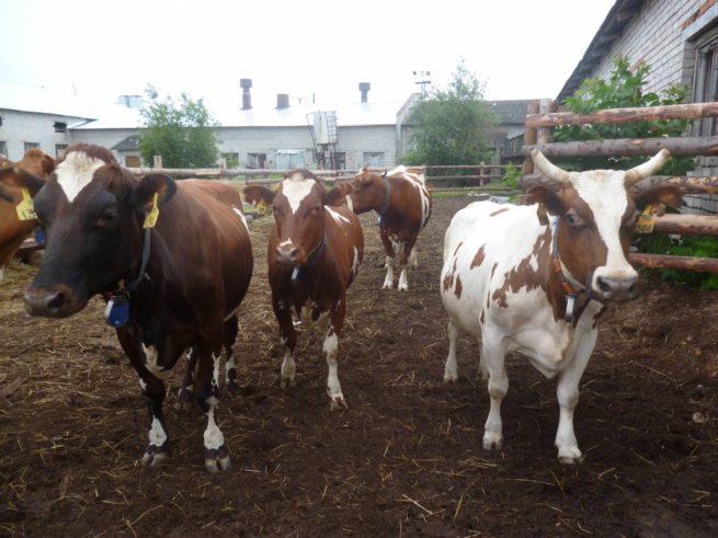 Породы коров: описание и фото Корова Айрширская