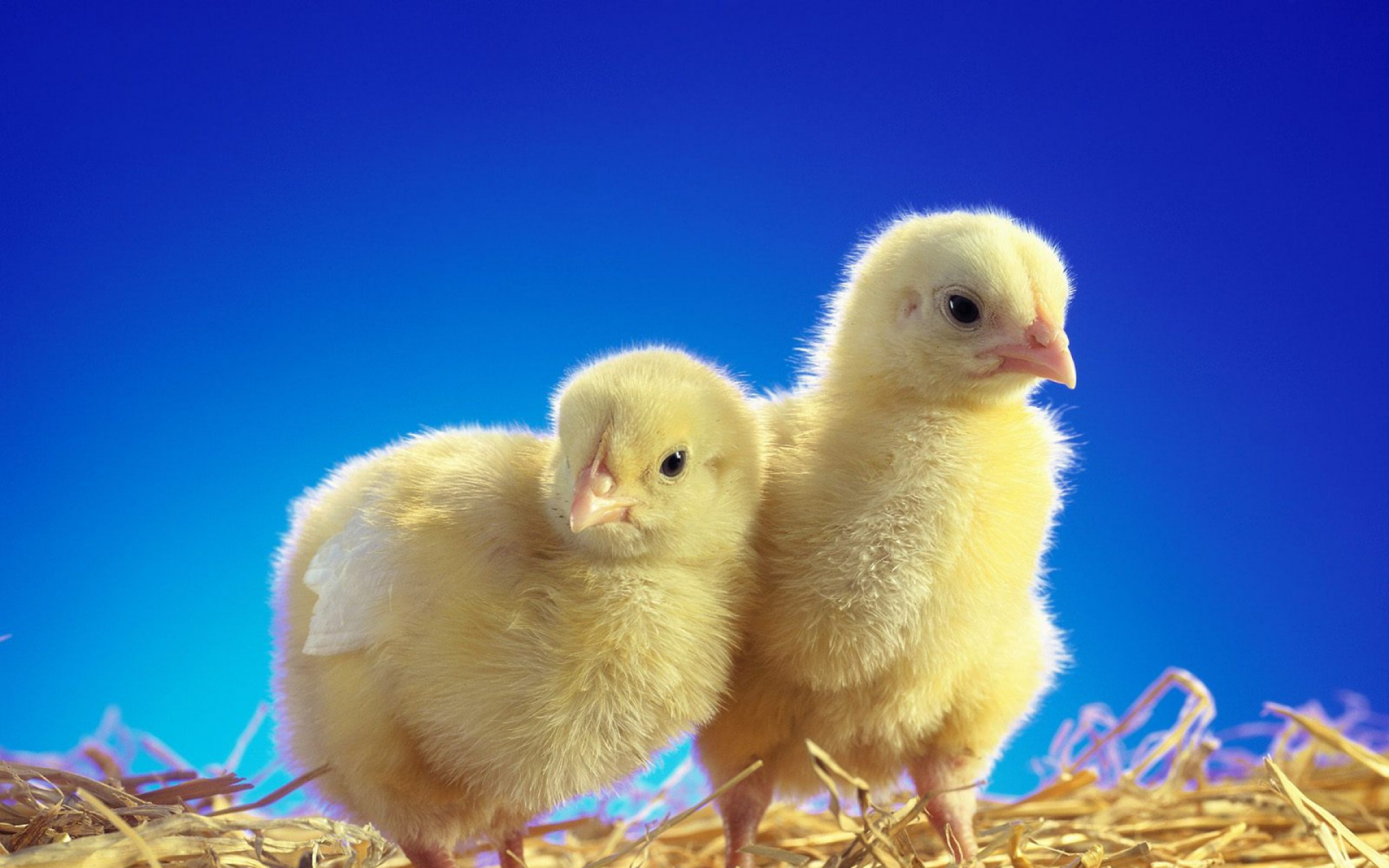 Два цыпленка