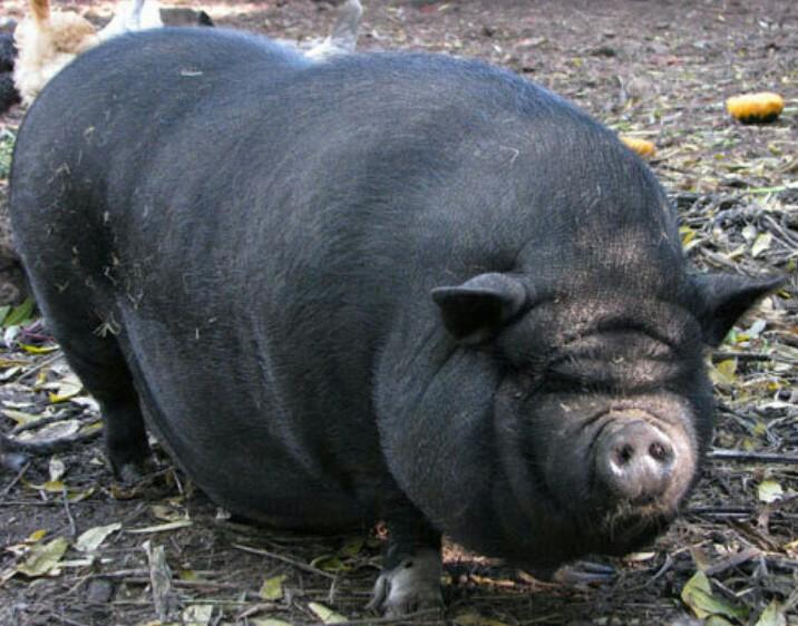 Вьетнамская свинья
